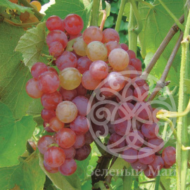 Виноград Somerset Seedless